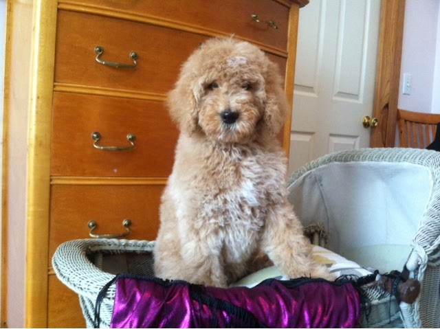 golden doodle rochester ny
