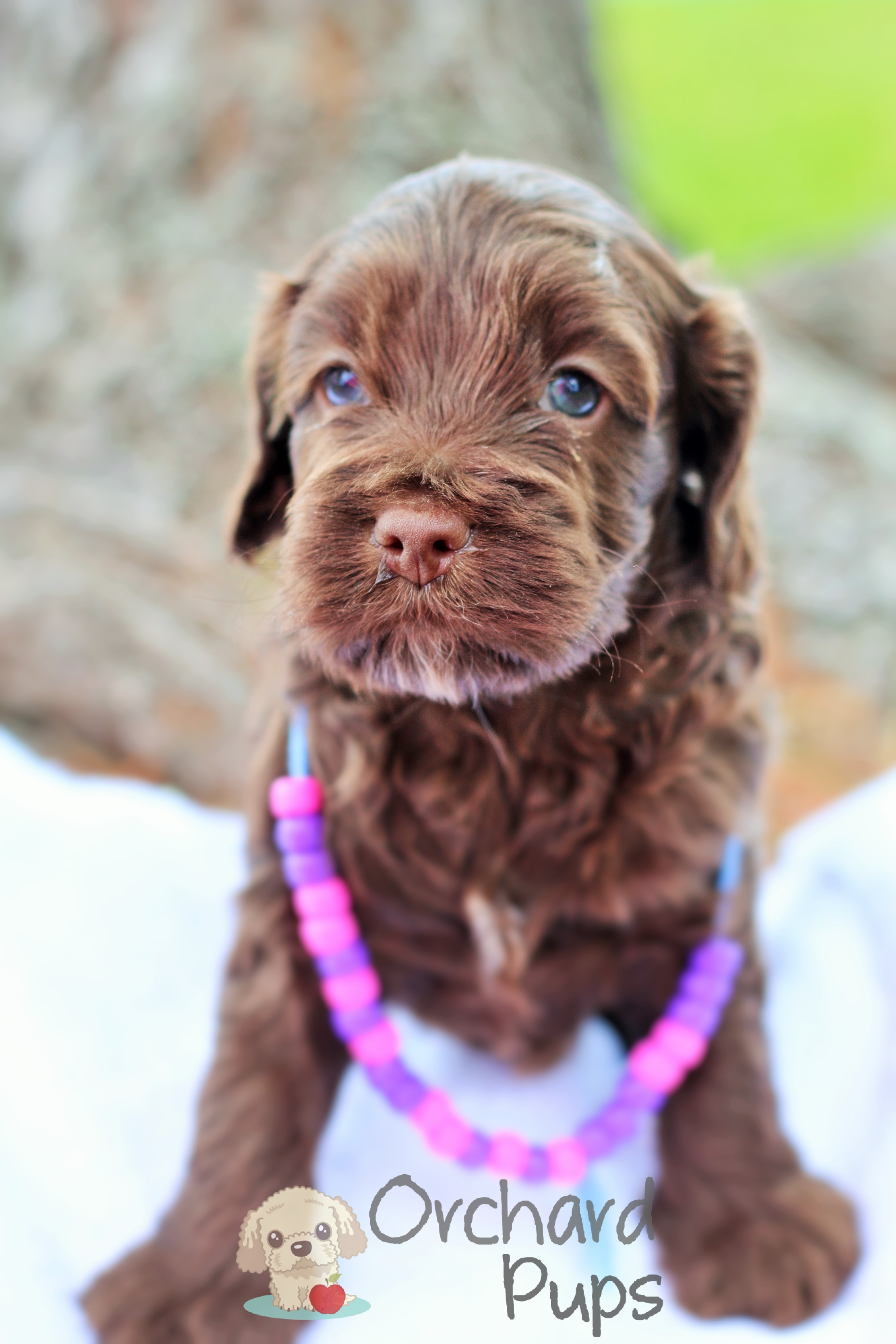 Adopt a Golden-Doodle or Poodle Pup - Orchard Pups - Orchard