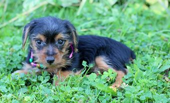 Yorkie Pup 12 Weeks Old 1 Beautiful Girl 750 Ready To Go Home