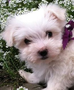Maltese Baby Girl 900 Ready To Go Home Orchard Pups Orchard Pups