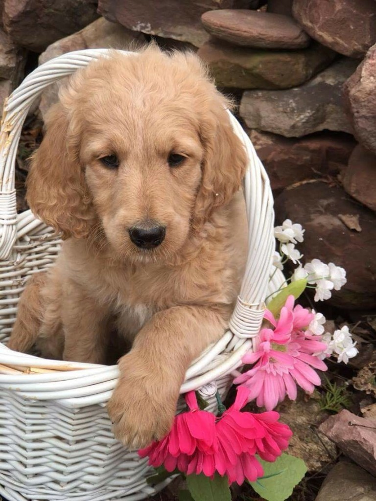 Precious F1b Standard Goldendoodle Girl 1 200 Ready Now Math Wallpaper Golden Find Free HD for Desktop [pastnedes.tk]