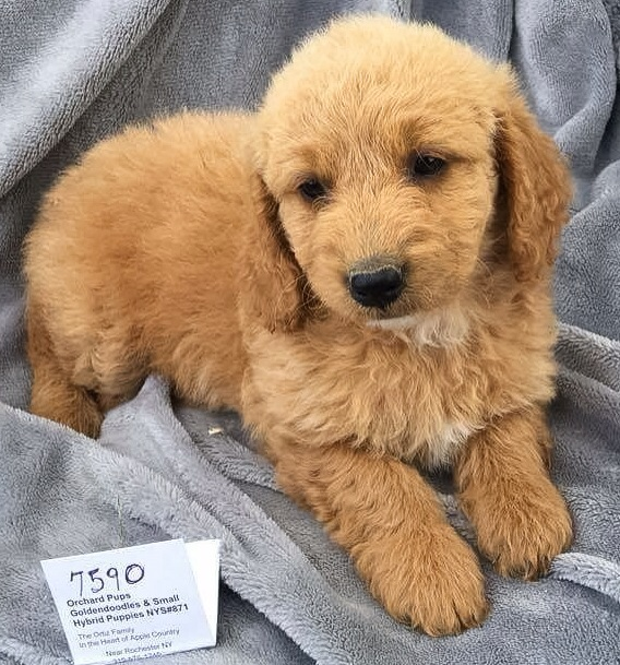 Mini F2b Golden Doodle Kristina From Maine Reserved Shirley Temple