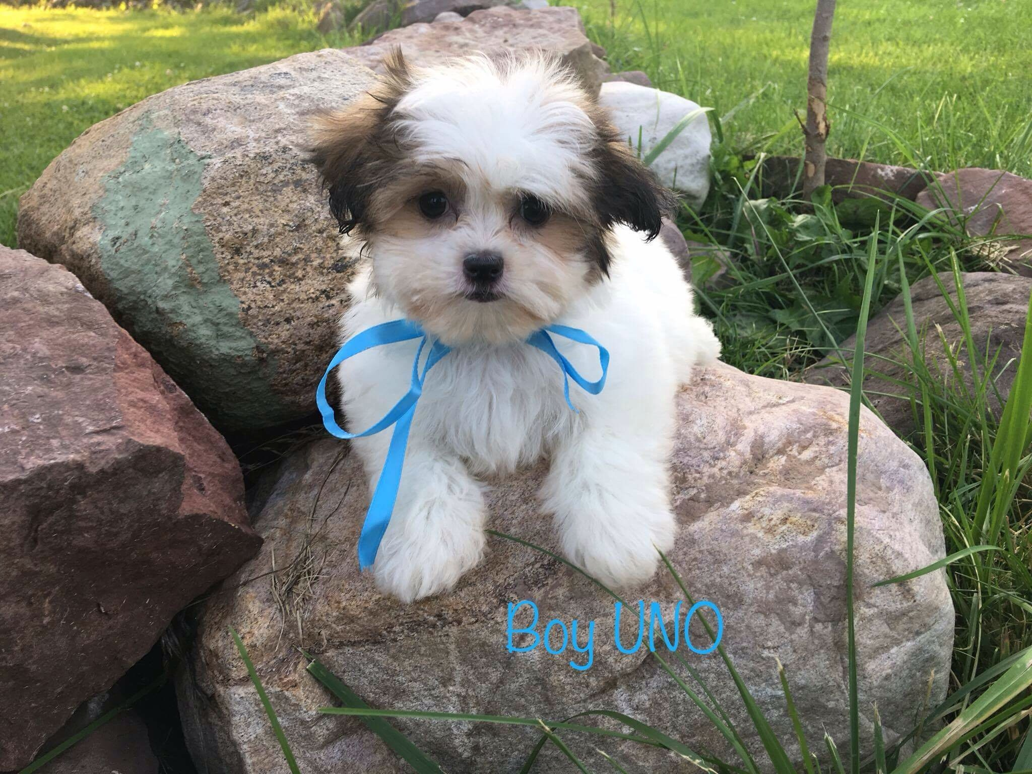 Shih Tzu Breeders In Upstate Ny