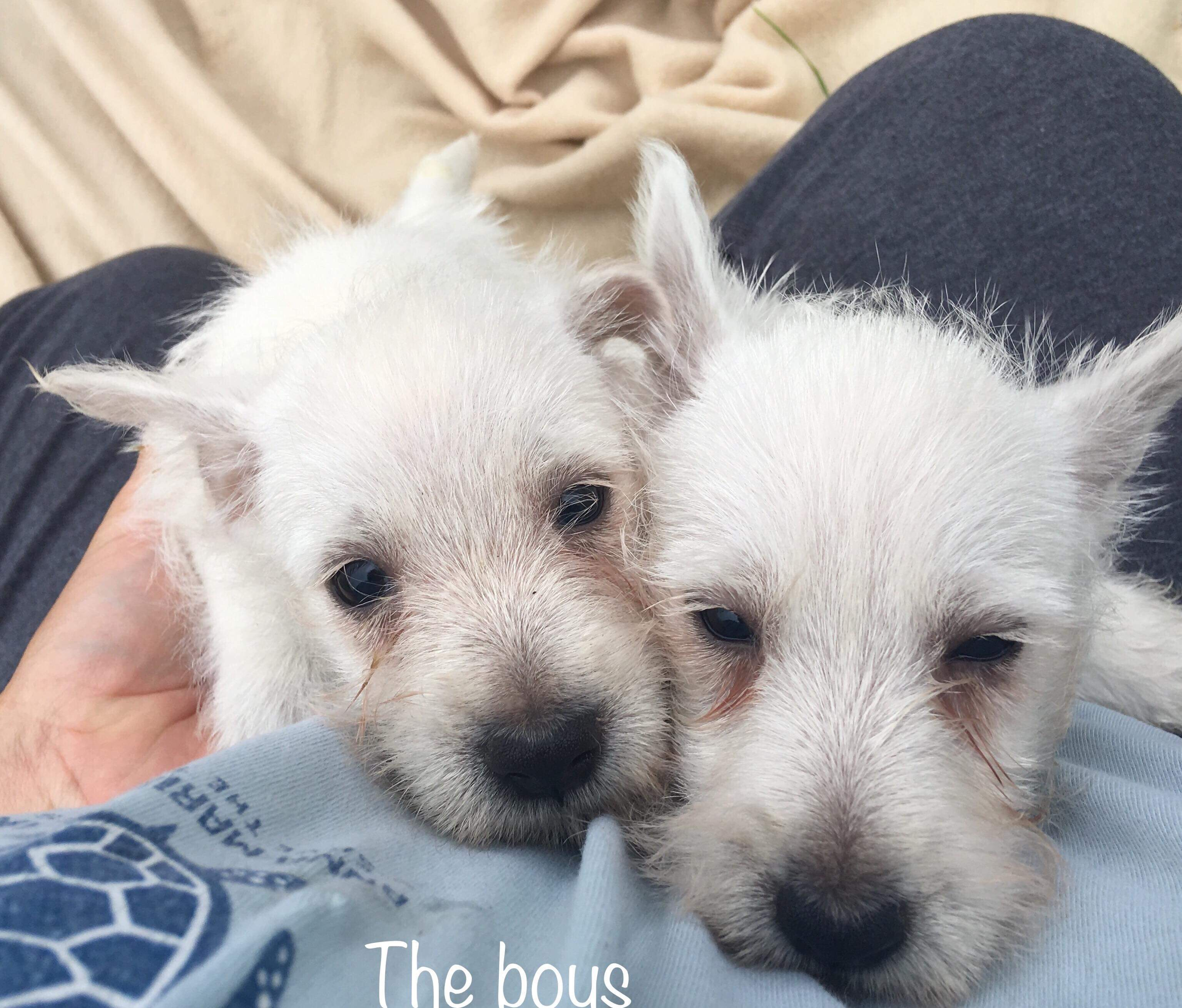 westies white west highland terriers one girl and two boys only