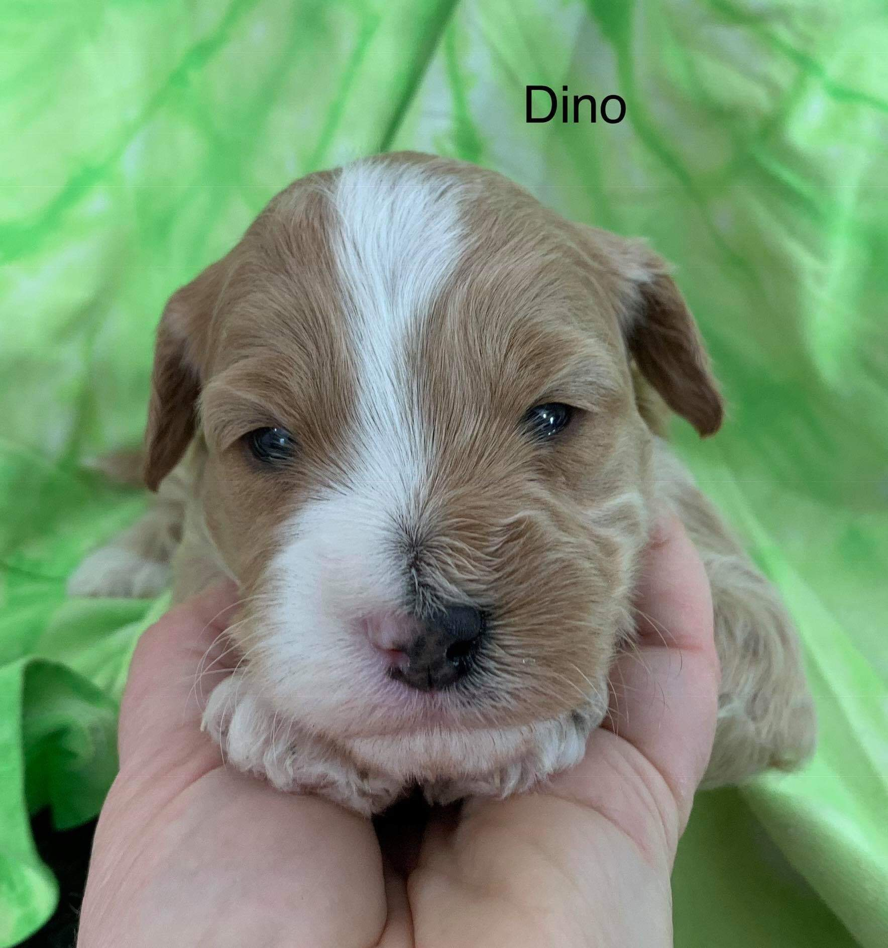 Dino available