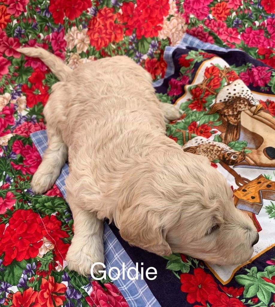 Nancy reserved Goldie Girl