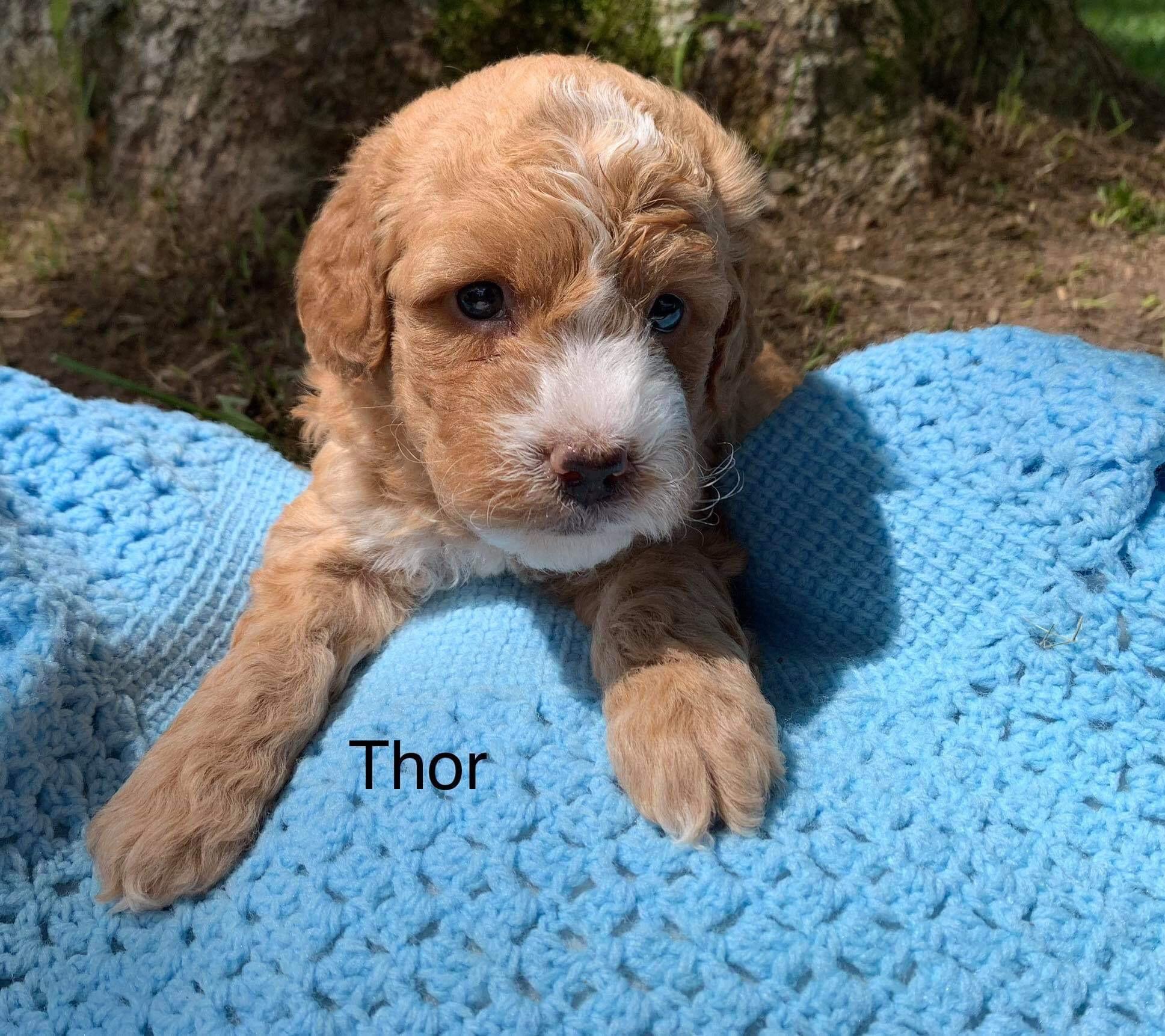 Rebecca reserved Thor