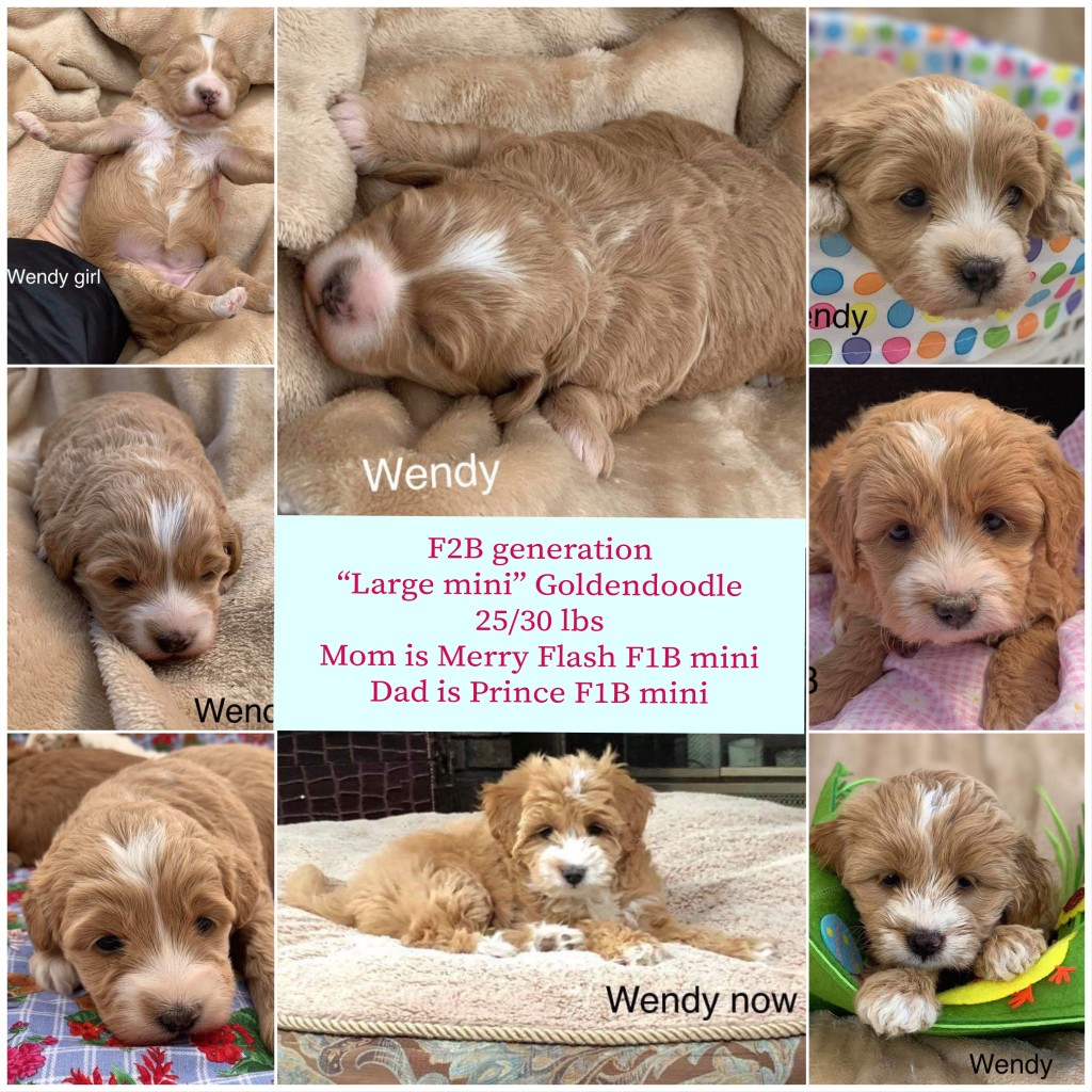 This is a previous mini goldendoodle, to help you see how much they will change!