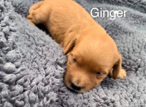 Terri Reserved Ginger