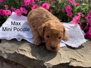 Judi Reserved mini poodle Max