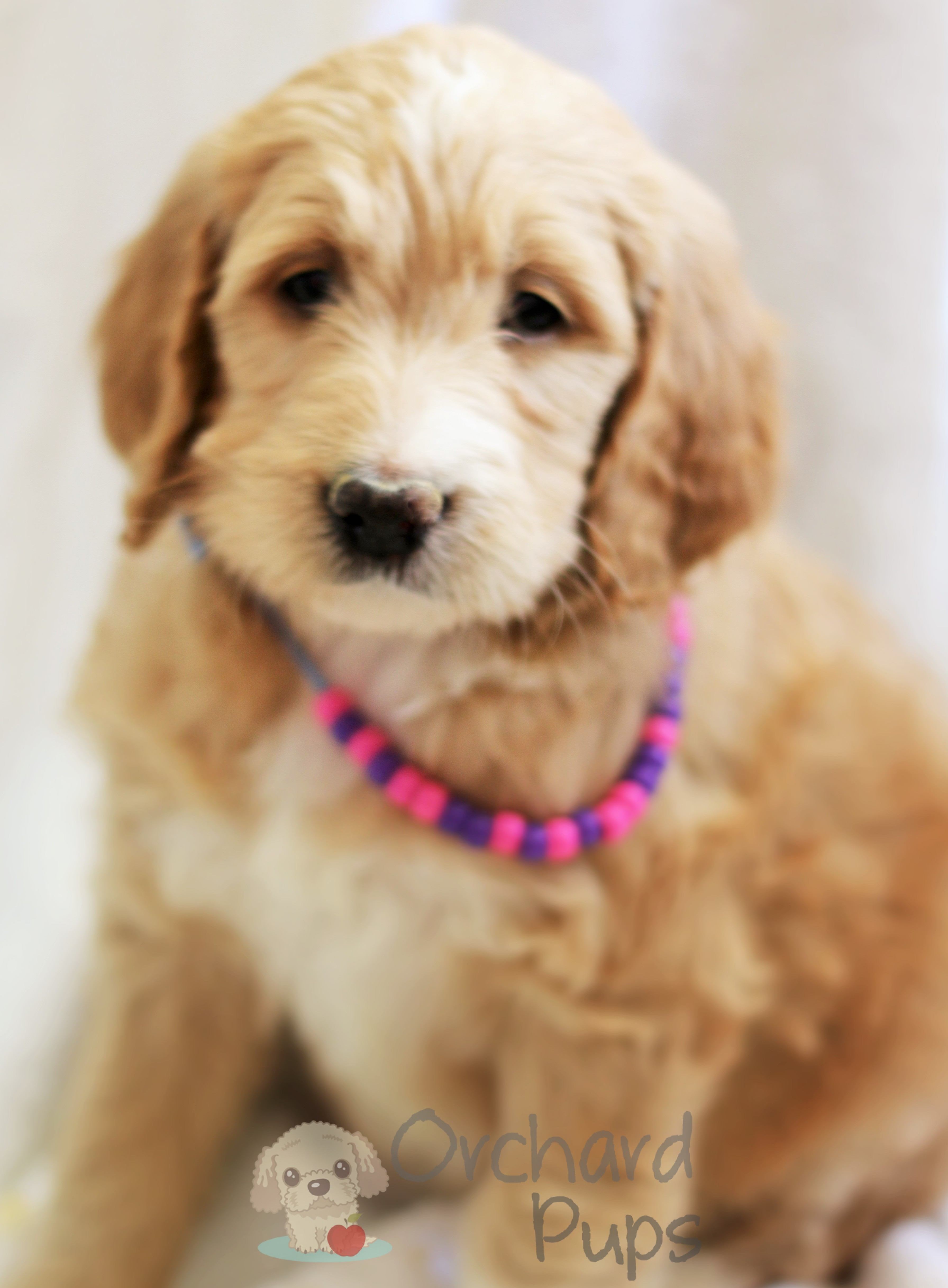 Goldendoodles & Poodles - Orchard Pups - Orchard Pups