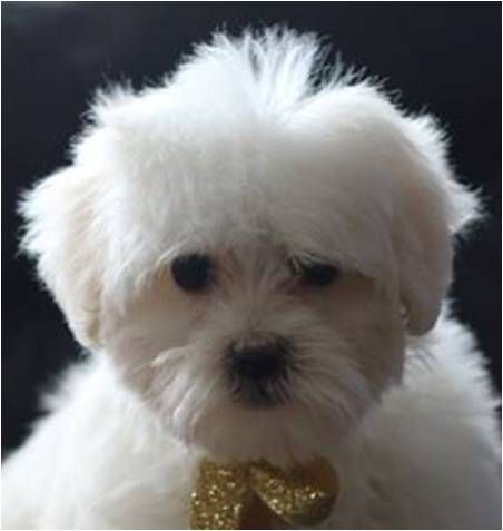 bichon frise vs maltese maltese bichon mix for sale goldenacresdogs com 5236