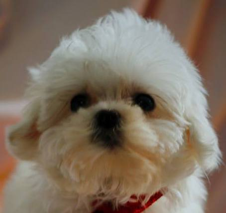 bichon frise vs maltese maltese bichon mix for sale goldenacresdogs com 8779