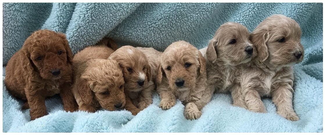 Goldendoodles Poodles Orchard Pups Orchard Pups